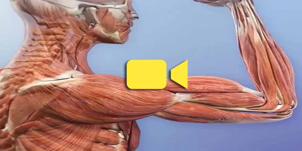 شگفتی های بدن انسان - قدرت - عضلات